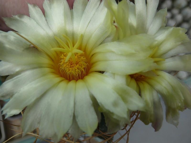Astrophytum capricorne var. crassispinum Astro_59