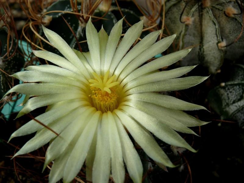 Astrophytum capricorne var. crassispinum Astro_60