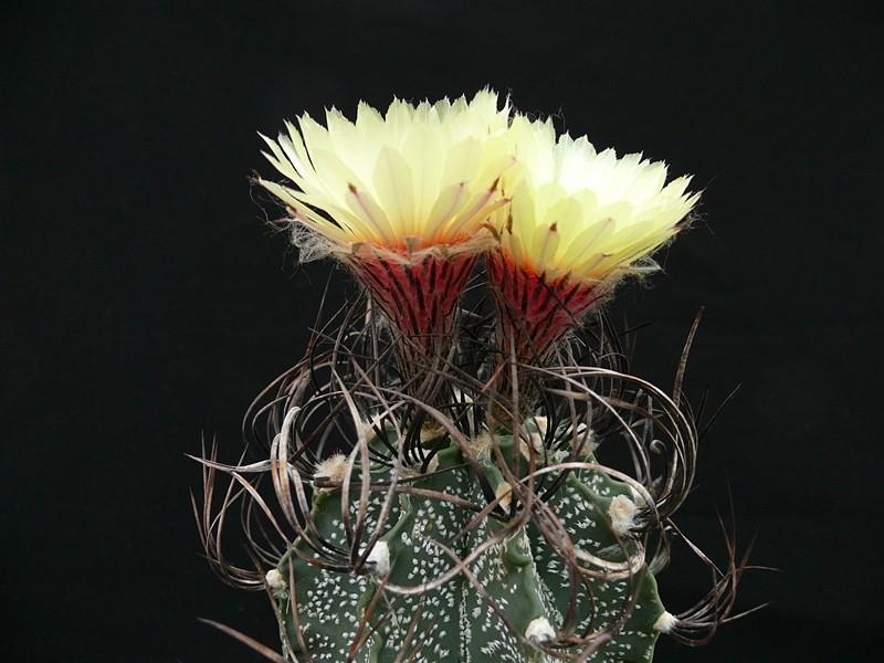 Astrophytum capricorne var. capricorne Astroe10