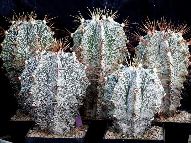 Astrophytum ornatum var. mirbelii Astros11