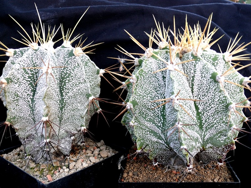 Astrophytum ornatum var. mirbelii Astros12