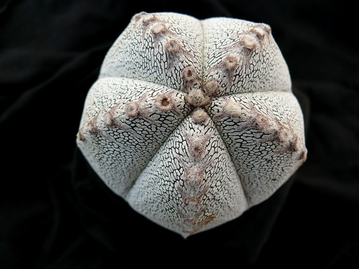 Astrophytum fünfrippige Schönheiten Astros18