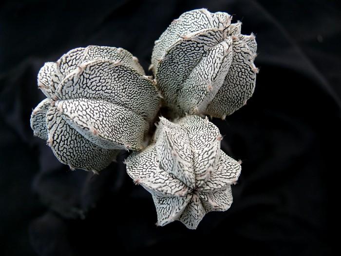 Astrophytum fünfrippige Schönheiten Astros19