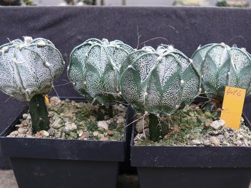 Astrophyten-Namensfindung für gepropften Sämling Aussaa10