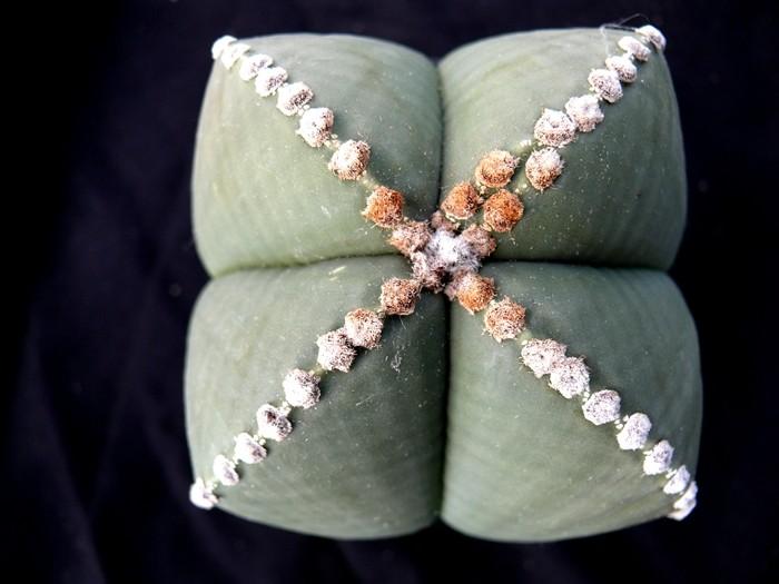 Astrophytum vierrippige Schönheiten Forum_12