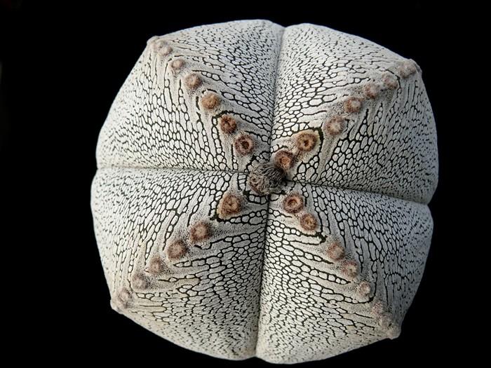 Astrophytum vierrippige Schönheiten Forum_14