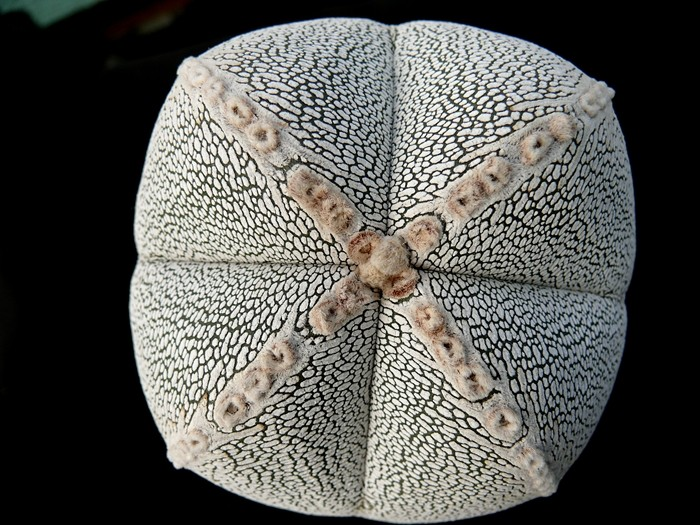 Astrophytum vierrippige Schönheiten Forum_15