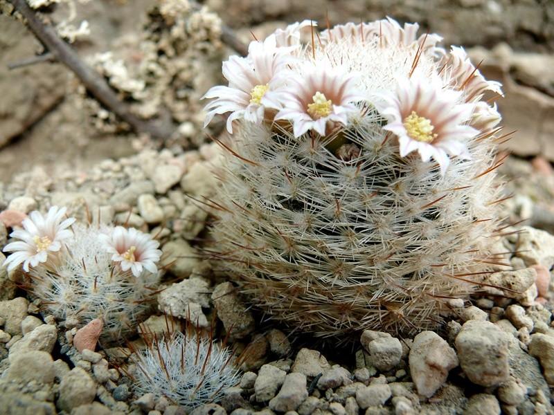 Mammillaria - Seite 5 Mammi_10