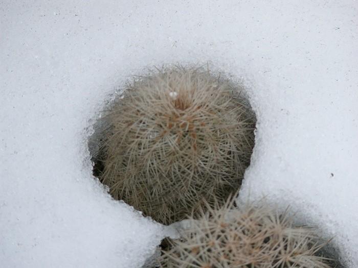 Frostharte/Winterharte Echinocereen - Seite 3 Natur_10
