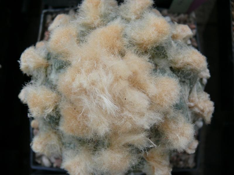 Ariocarpus Schmuck oder Schande Pflanz11