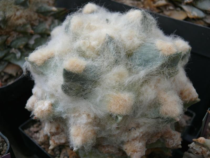 Ariocarpus Schmuck oder Schande Pflanz15