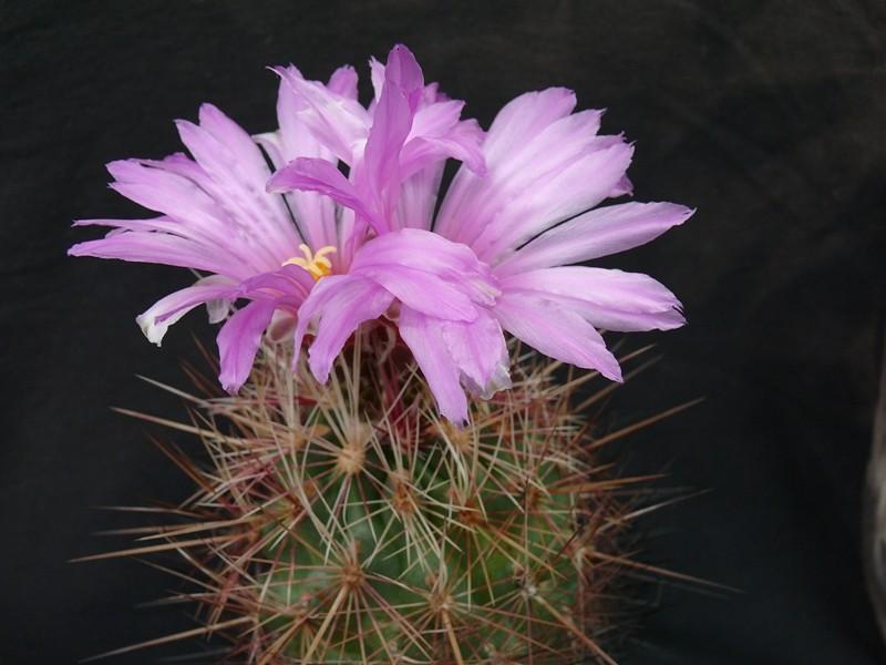 Thelocactus bicolor var. tricolor Thelo_10