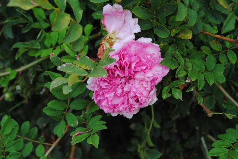 Quel rosier est-ce? Vu à Cluny. 2011_012