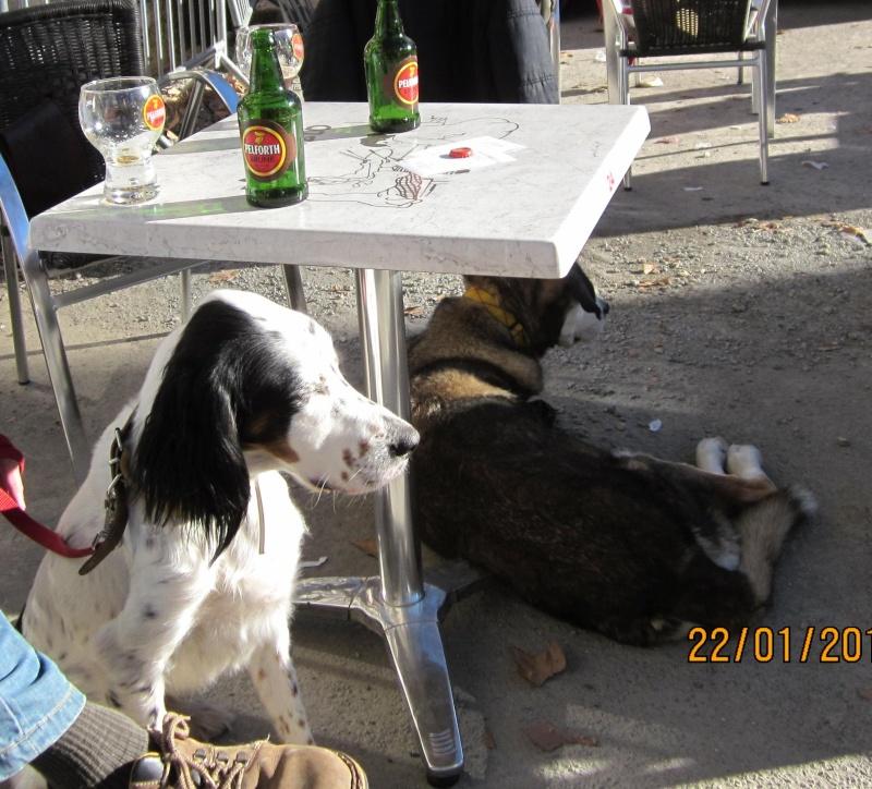 BEAU Setter Anglais né le 01.06.2009  adopté par BIGGLES (66) Cafe_c11