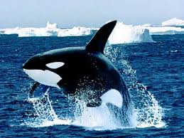 If you could be any animal, what would you be and why?  Orcas110