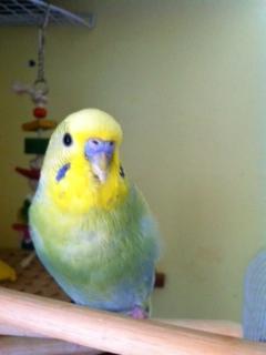 ma nouvelle perruche mâle ou femelle? Photo_11