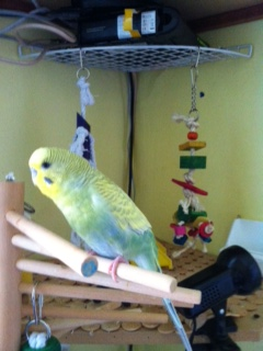 ma nouvelle perruche mâle ou femelle? Photo_12