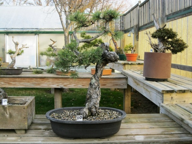 Ponderosa Pines... can they really make good bonsai? 10-18-16