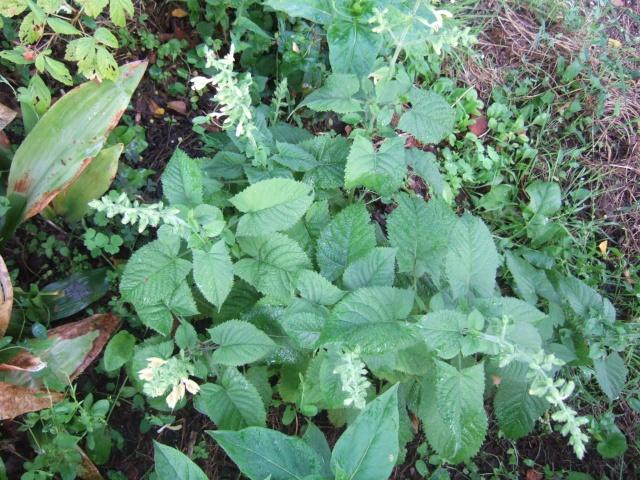 glutinosa - Salvia glutinosa - sauge glutineuse Dscf0310