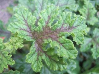 Pelargonium quercifolium Dscf0327