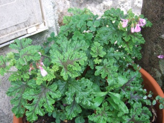 Pelargonium quercifolium Dscf0328