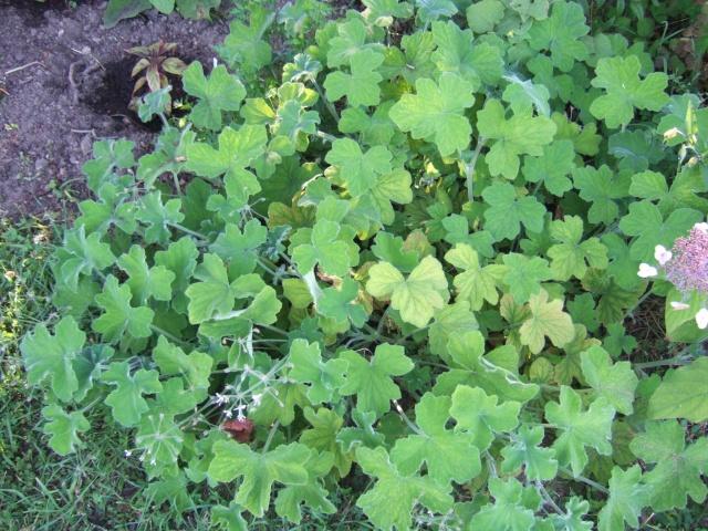 Pelargonium tomentosum Dscf0510