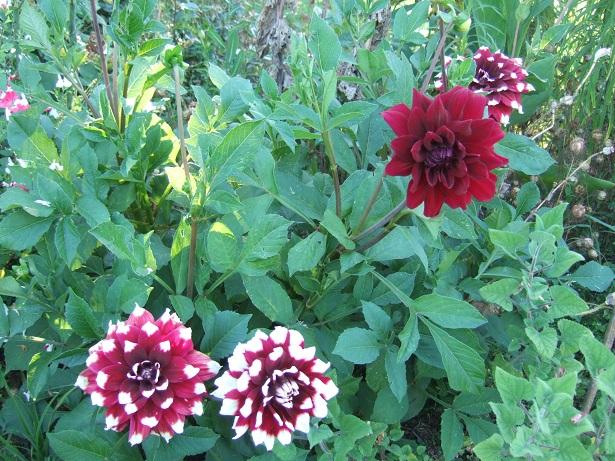 Dahlia - variétés, culture Dscf0513