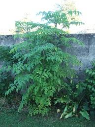 Dahlia imperialis Dscf0612