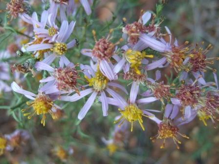 Galatella sedifolia (= Aster sedifolius) - aster à feuilles d'orpin Dscf1618
