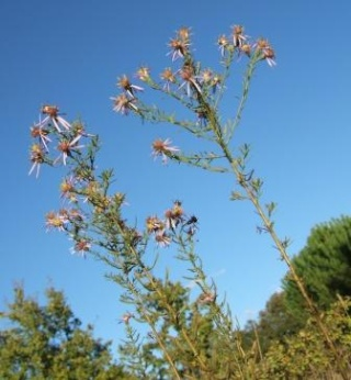 Galatella sedifolia (= Aster sedifolius) - aster à feuilles d'orpin Dscf1714