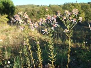 Galatella sedifolia (= Aster sedifolius) - aster à feuilles d'orpin Dscf1716