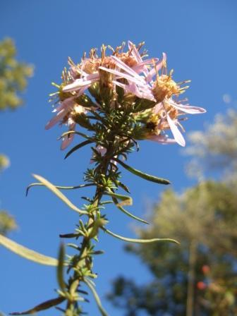 Galatella sedifolia (= Aster sedifolius) - aster à feuilles d'orpin Dscf1717