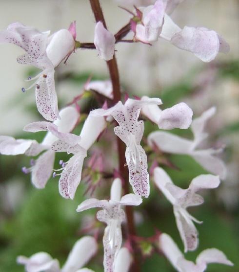 Plectranthus ciliatus Dscf1823