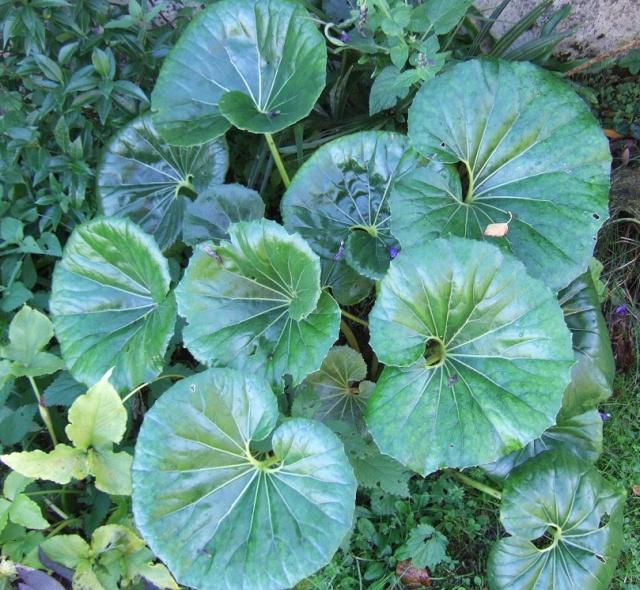 Farfugium japonicum = Ligularia kaempferi Dscf1825