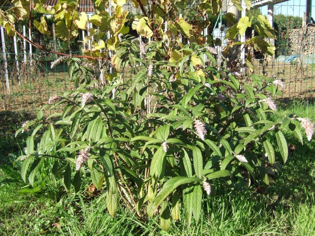 Rostrinucula dependens - menthe en arbre Dscf1826