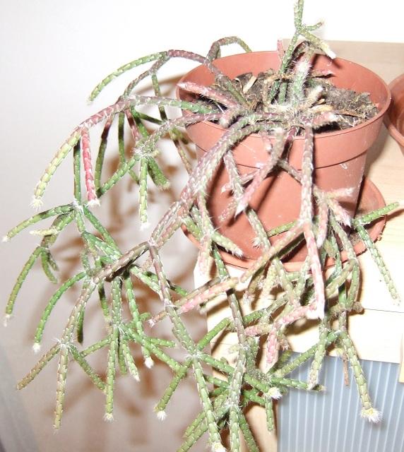Rhipsalis pilocarpa Dscf1832