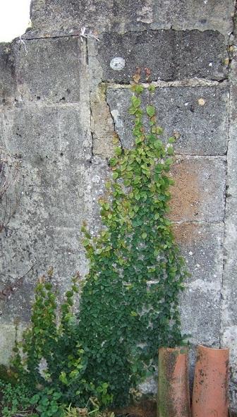 Ficus pumila Dscf1914