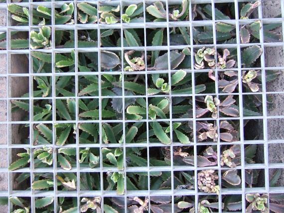 Kalanchoe et Bryophyllum - identifications [verrouillé] Dscf2011