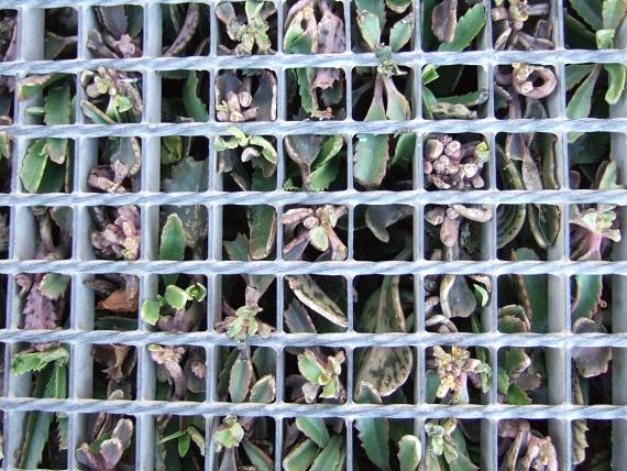 Kalanchoe et Bryophyllum - identifications [verrouillé] Dscf2012