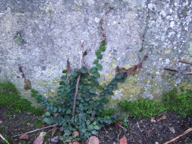 Ficus pumila Dscf3610