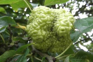 Maclura pomifera - oranger des Osages Dscf4112