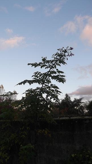 Dahlia imperialis Dscf4221