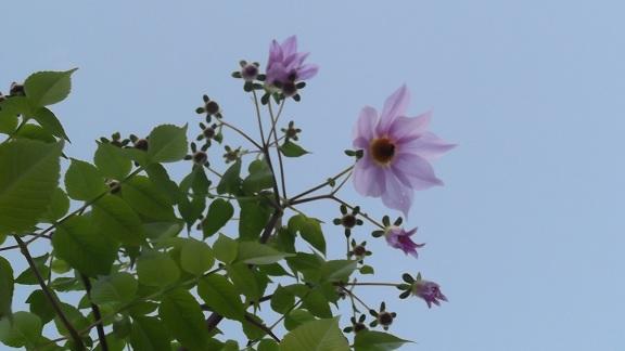 Dahlia imperialis Dscf4222