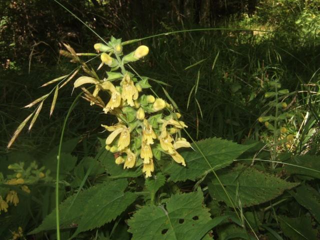 Salvia glutinosa - sauge glutineuse Dscf5811