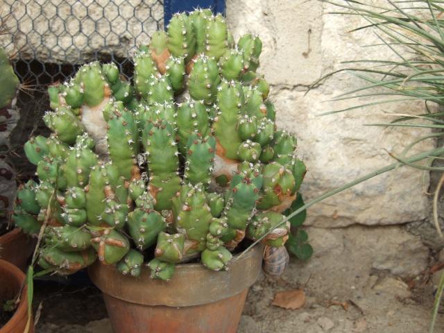 Euphorbia resinifera Dscf6511