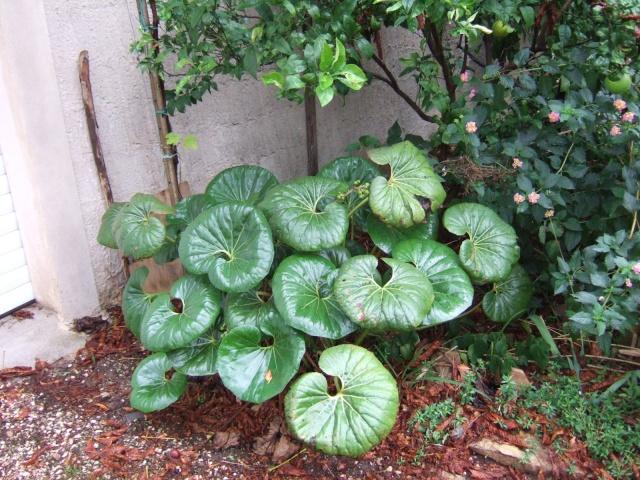 Farfugium japonicum = Ligularia kaempferi Dscf6712