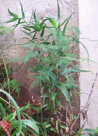 Aloe ciliaris Dscf6713