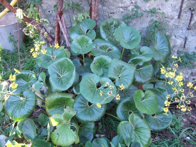 Farfugium japonicum = Ligularia kaempferi Dscf7210