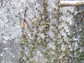 Ficus pumila Dscf7736