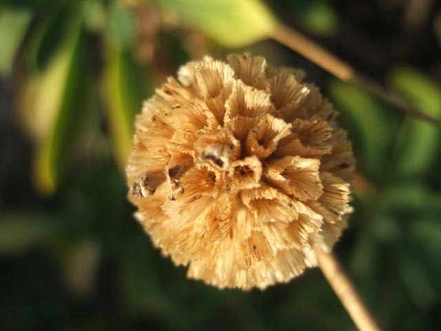 Ruscus hypophyllum, Scabiosa cretica [devinette] Dscf7811